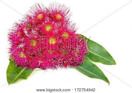 Pink eucalyptus flowers and leaves isolated on white.
