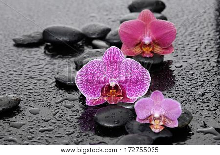 black stones and three colorful orchid on wet background