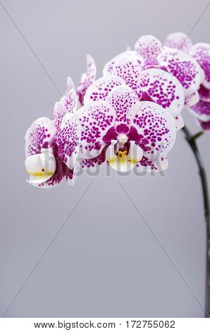 branch of gorgeous orchid flower-gray background