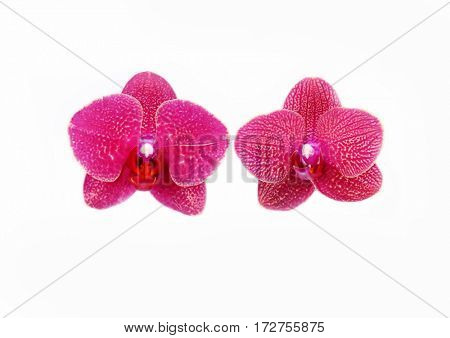 Two  gorgeous orchids with white background