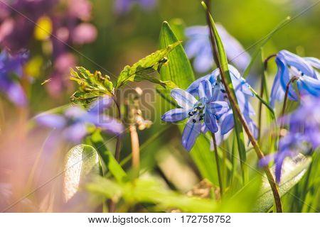 Scilla Siberian Blue spring flower. First spring wild flowers. Spring