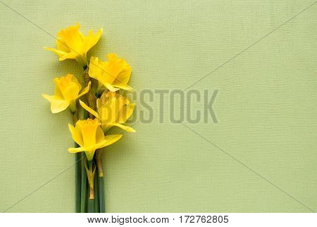 Arrangement of fresh yellow Jersey Pride daffodils lying on soft pale green textured background with lots of copy space.
