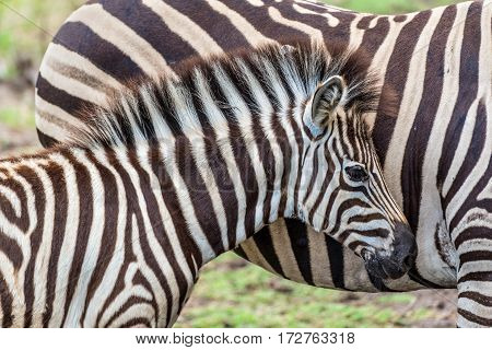 Zebra mare and foal in a tender bonding moment in the Casela Park Mauritius