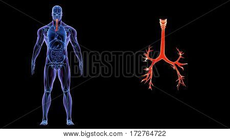 3D Illustration of Human Lungs Inside Anatomy (Larynx, Trachea, Bronchioles)