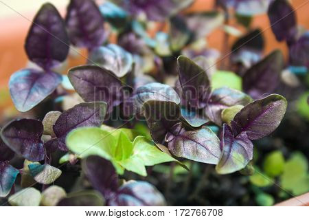 abstract background with place for text sprouts Basil