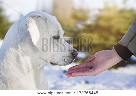 young cute labrador retriever dog puppy gets a reward during training