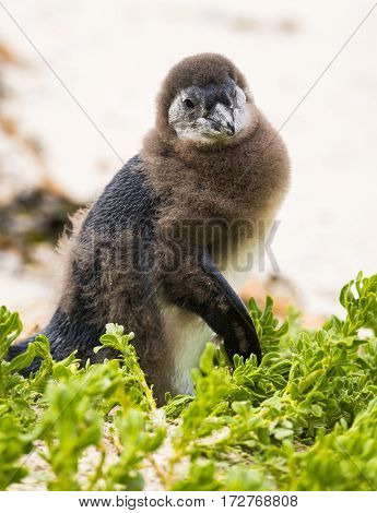 Molting Penguin Chick