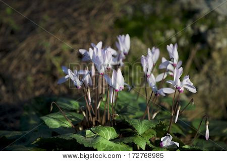 White pinkish cyclamen flowerbed in the wild forest on sunset
