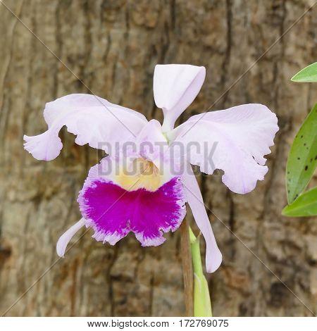 Cattleya percilviana 'Sumit'. A species orchid in botanical garden on Tenerife island
