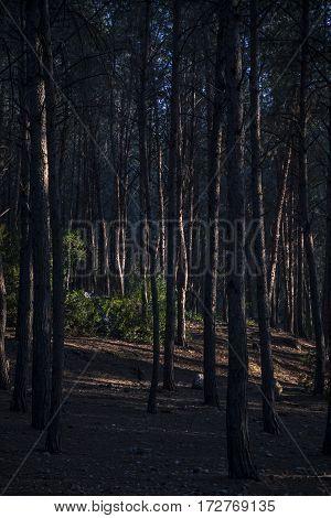 Harsh setting sun light through trees cast heavy shadows in forest vertical