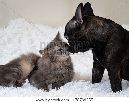 Dog and cat sniffing each other. Bed white plaid