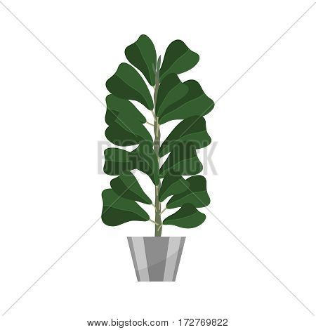 Ficus. Deciduous plant in flowerpot. House plant realistic icon for interior decoration .Green tree plant in flowerpot. Vector illustration isolated on white background