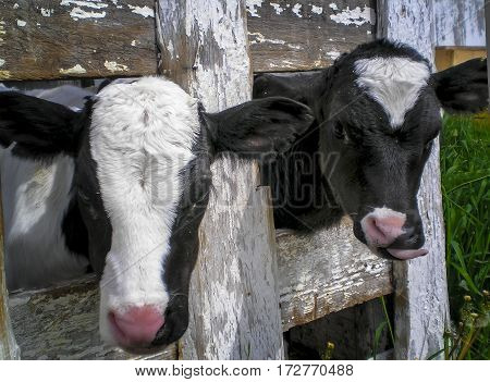 Young calves in a pen in the barnyard.