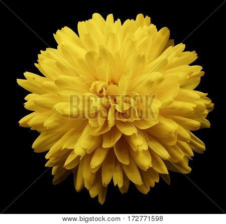 Yellow flower chrysanthemum. garden flower. black isolated background with clipping path. Closeup. no shadows. Nature.