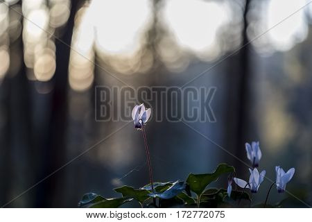 Sunlit cyclamens with spiderweb on defocused forest background