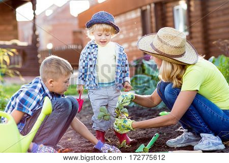 Kids with mother planting strawberry seedling into fertile soil outside in garden