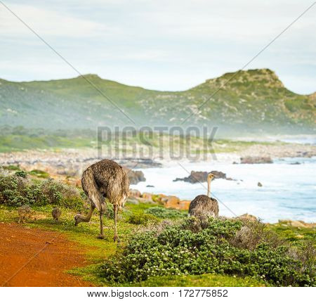 Ostriches And Chicks Beside Ocean