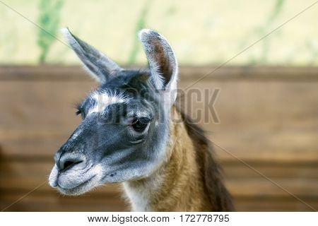 image of a beautiful mammal herbivore lama in the aviary