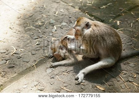 monkey helps to get rid of fleas to another, sacred monkey forest