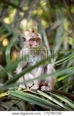 Monkey in nature, Ubud forest, Bali