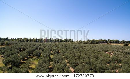 Plantation with olive trees