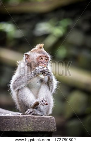 Long-tailed Macaque Monkey sitting on stone