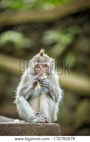 Cute Long-tailed Macaque Monkey eating