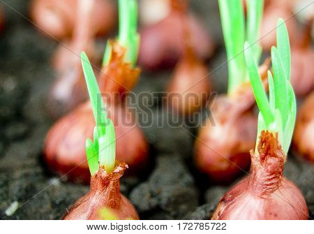 green onion green onion sprouts seedlings in the spring