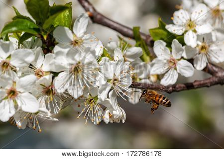 Bee flies towards white flowers on flowering trees to collect pollen.