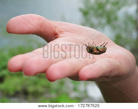 green beetle scarab isolated in a hand
