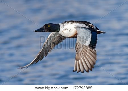 Northern Shoveler skimming across a clear blue lake.