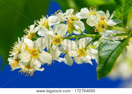 Flowers of bird cherry.Spring bouquet.Spring blossoms flowers on blue sky background.