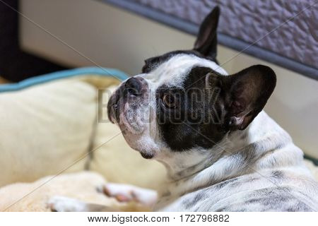 French bulldog lying on the lair