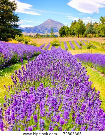 Detail Of Lavender Field With Mountains Background, New Zealand
