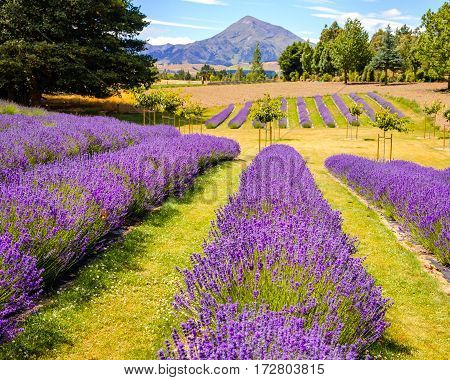 Detail Of Lavender Field With Mountains Backgroundnew Zealand