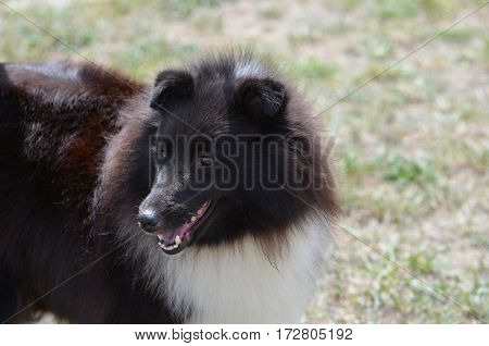 Great black and white shetland sheepdog on grassh
