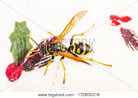 Wasp On A White Tablecloth