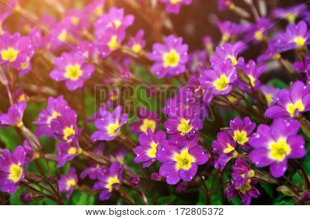 Spring flower landscape - blooming Primula juliae spring flowers  also known as Julias primrose or purple primrose flowers. Spring flowers under soft spring sunlight. Closeup of spring flowers