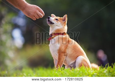 Shiba Inu pay attention to his owner at dogschool.