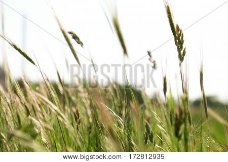 Meadow spikes on blurred nature background