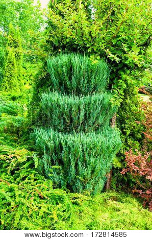 Green trimmed coniferous tree of Thuja - Arbor vitae. Thuja is an evergreen coniferous tree. Closeup of coniferous tree of Thuja