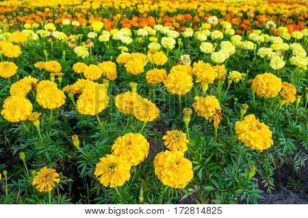 Flower background - blooming yellow and red flowers of marigold in summer day. Closeup of bloming summer flowers on the flowerbed. Flower background with flowers of marigold
