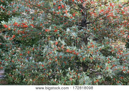 Tree of Ilex aquifolium with red berries, selective focus