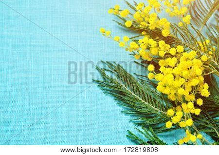 Spring background - mimosa flowers on the blue linen surface, spring background with mimosa flowers. Closeup of mimosa flowers on the blue surface, spring background
