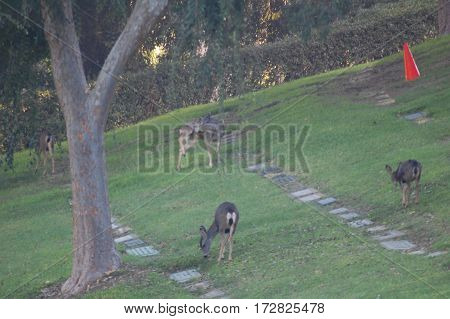 Group of mule deer wandering the hills of a southern California cemetery just after dawn