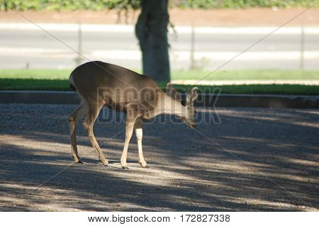 Mule deer wandering the hills of a southern California cemetery