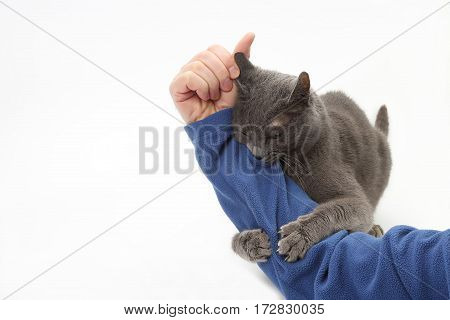 gray cat clung and clasped his hands on the man's hand on white background