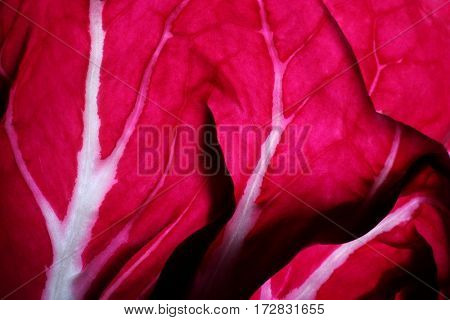 Close-up detail of a Radicchio leaf also known as leaf chicory.