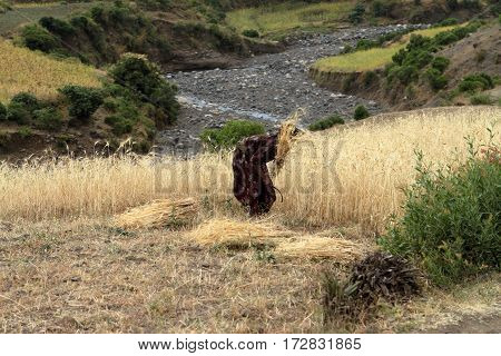 The Cereals harvest of Ethiopia in Africa