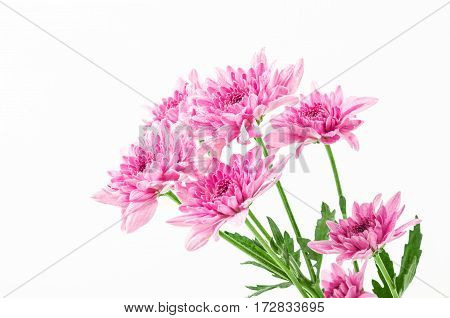 The chrysanthemums with waterdrop on white background